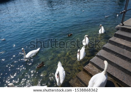 Peaceful lake shore with swans #1538868362