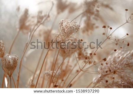 dried wild carrot flowers (Daucus carota) together with dried grass and spikelets beige close up on a blurred background Royalty-Free Stock Photo #1538937290