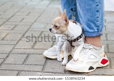 Chihuahua. Dog on a walk. Cute doggie. Trusted friend. #1538963234