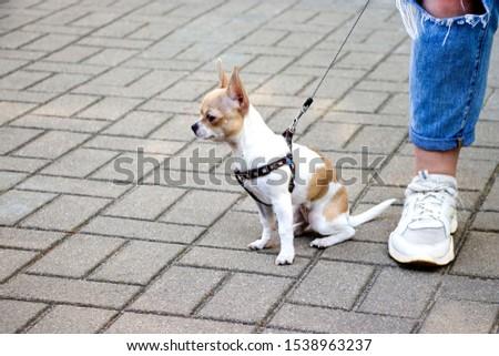 Chihuahua. Dog on a walk. Cute doggie. Trusted friend. #1538963237