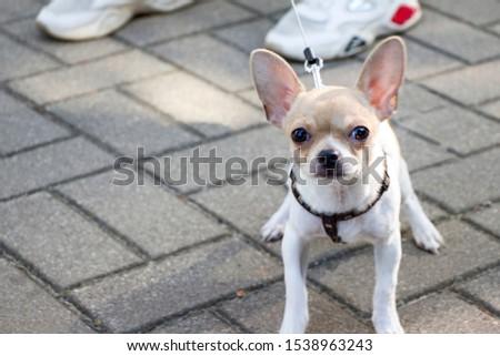 Chihuahua. Dog on a walk. Cute doggie. Trusted friend. #1538963243