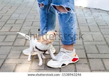 Chihuahua. Dog on a walk. Cute doggie. Trusted friend. #1538963246