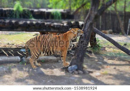 Pregnant Tigress in the jungle playing with the tree trunk #1538981924
