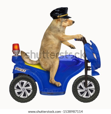 The dog policeman in a black cap is riding a blue motorbike. White background. Isolated.