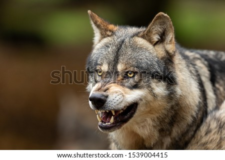 Portrait of a Grey wolf angry in the forest #1539004415