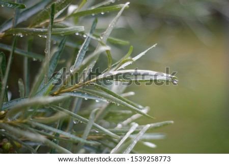branches of sea buckthorn with foliage covered with raindrops #1539258773