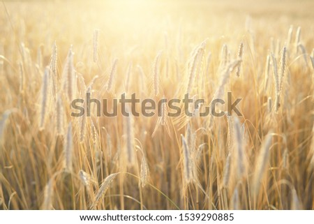 Golden agricultural crop field at sunset. Texture and close-up view #1539290885