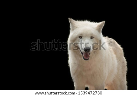 There are white wolf in this picture. Wolf looking nice. Black background add the beauty of picture. White fur of the wolf looking cute. This picture present a soft texture.