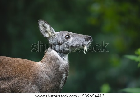 Siberian musk deer with long fangs. Close-up portrait of cute male musk deer with terrible sharp tusks in summer forest. #1539654413