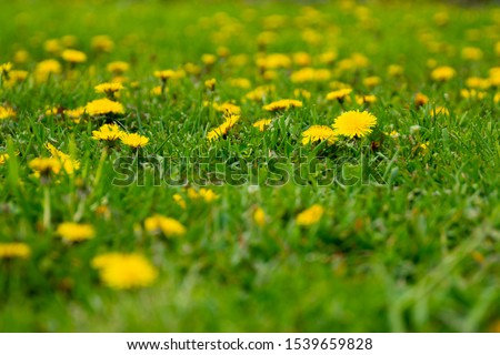 Close up of dandelion plant in a field. Dandelion plant with a fluffy yellow bud and green grass
