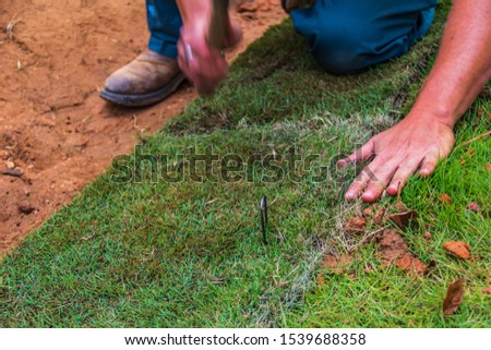 A worker placing staples into new Saint Augustine sod grass to hold it in place on a slope #1539688358
