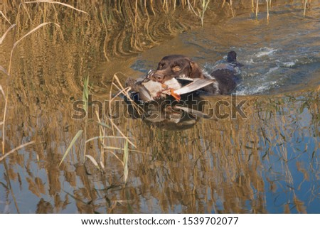 German hunting watchdog drathaar, Beautiful dog portrait on the hunt. A hunting dog pulls out prey from the water. Royalty-Free Stock Photo #1539702077