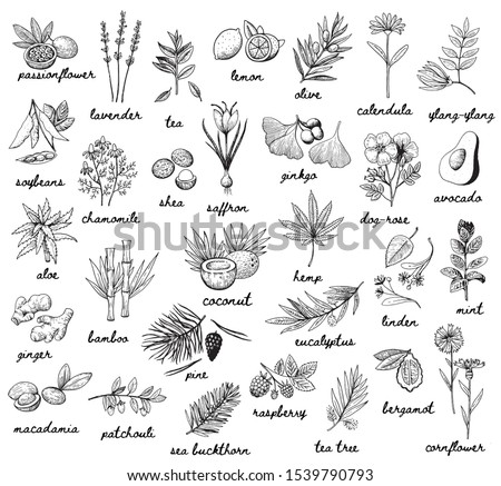 Ink vector vintage illustration whit plats used in cosmetic, medicine and aromatherapy. Big set with 30 various thypes. Black and white sketchy engraving style. Fruits, herbs, spices and vegetables. #1539790793