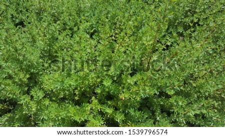 Top view evergreen shrub.green shrub. #1539796574