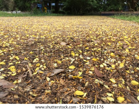 A road with many falling cassia leaves (Cassia Tree) #1539876176