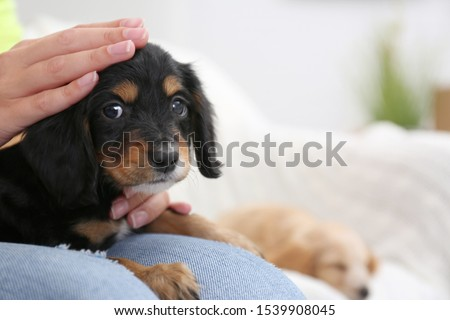 Owner with cute English Cocker Spaniel puppy indoors, closeup. Space for text #1539908045