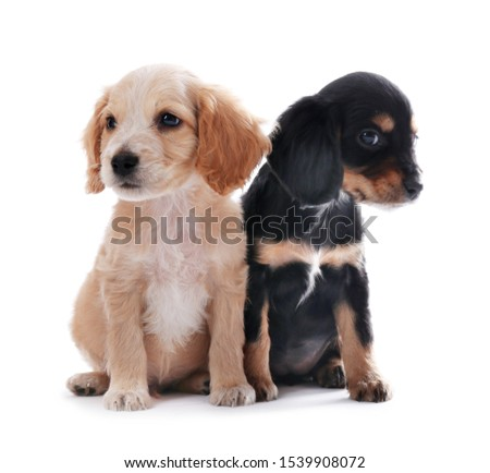 Cute English Cocker Spaniel puppies on white background #1539908072