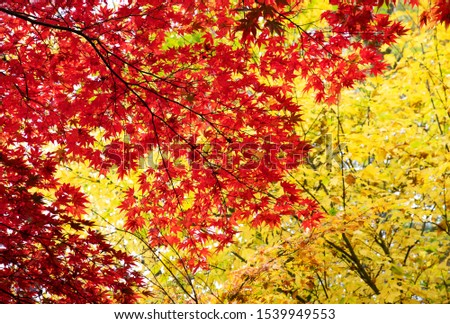 Colorful leaves on the tree, yellow and red leaves of maple. Autumn in october and november. Background landscape. #1539949553