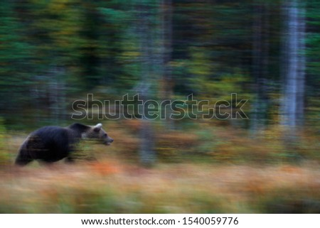 Nature art, bear blur motion activity. Brown bear walking in the forest with fall colours.  Dangerous  creature in nature wood, meadow habitat. Wildlife habitat from Finland, soft focus #1540059776