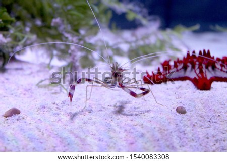 Banded coral or cleaner shrimp on the sea bottom. Front view. Red and white striped underwater inhabitant. Sea and ocean life. Diving, oceanarium or aquarium picture. Red starfish resting nearby