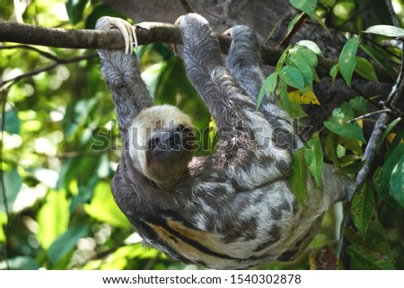 A sloth male hangs on a tree upside down on its paws in the Amazon jungle