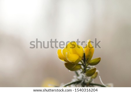 Comon gorse yellow flower with frosted dew drops  #1540316204