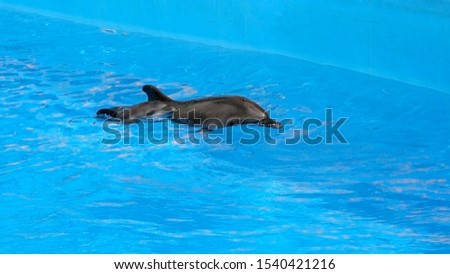 A charming dolphin baby swims with his mom dolphin in pool. Two dolphins enjoing together. Dolphin with cub swim in the pool #1540421216