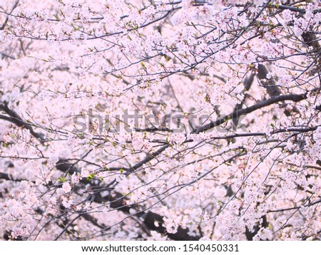 Cherry blossoms, cherry blossoms, many cherry blossoms #1540450331