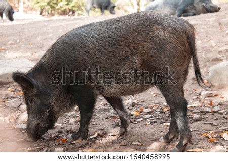 Wild boar. Wild pig. Wild boar digs the ground. #1540458995