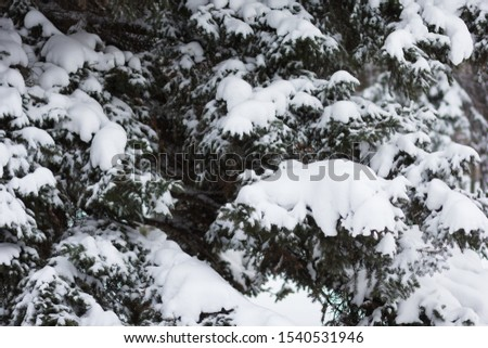 Spruce branches covered by snow in the snowy park #1540531946
