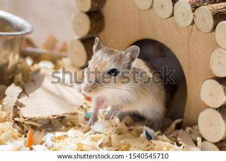 A small domestic gerbil rodent peeps out of his wooden house in a sawdust cage.