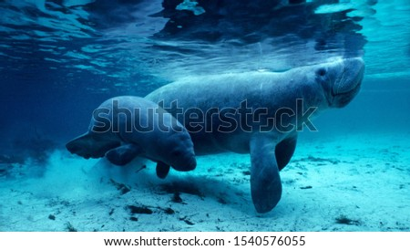 West Indian manatee and baby in the Crystal River, Florida