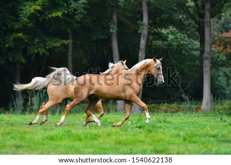 Two palomino akhal teke breed horses running in the park together. #1540622138