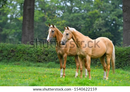 Two palomino akhal teke breed horses standing still in the park and watching. #1540622159