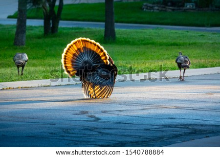 This brightly backlit colorful wild Tom Turkey struts his tail feathers proudly as he parades down the street, following a couple of hen turkeys, for a Thanksgiving Day parade.  #1540788884