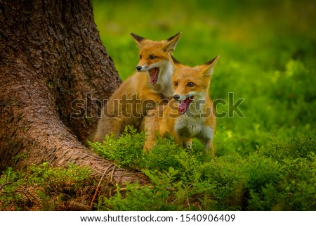 Red fox, vulpes vulpes, adult fox with young #1540906409
