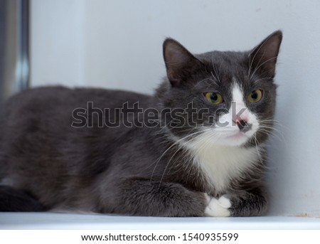 gray with white plump cat portrait #1540935599