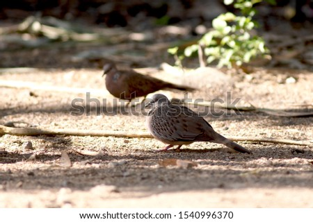 Eurasian Collared-Doves have plump bodies, small heads, and long tails. They're larger than Mourning Doves but slimmer and longer-tailed than a Rock Pigeon. The wings are broad and slightly rounded.  #1540996370