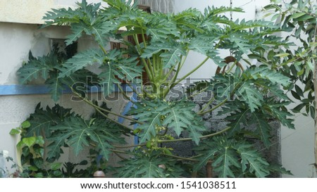 A beautiful papaya tree picture #1541038511