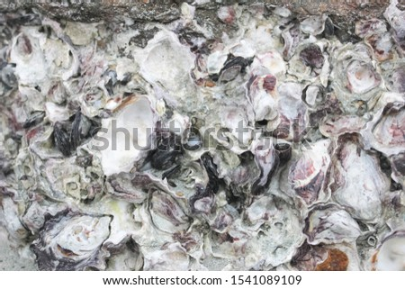 Abstract background from shells, The remains of shells for background, The remains of shells on the stone and the seashore, Shells old stone, the oysters attached on the rock at the seashore #1541089109