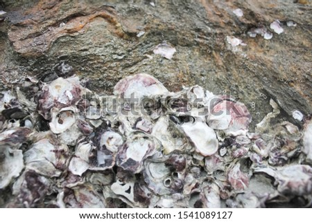 Abstract background from shells, The remains of shells for background, The remains of shells on the stone and the seashore, Shells old stone, the oysters attached on the rock at the seashore #1541089127