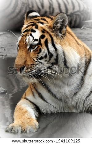 a tiger is a wild predator #1541109125