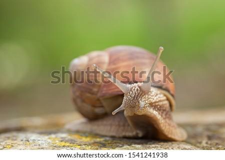 Burgundy snails (Helix pomatia) closeup, with homogeneous blurred green background. Burgundy or Edible Snail (Helix pomatia) is common big european land snail. Helix pomatia - edible snail, macro. #1541241938