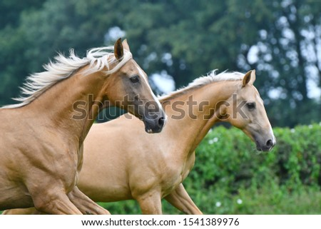 Two palomino akhal teke breed horses running in the park together. Animal portrait. #1541389976