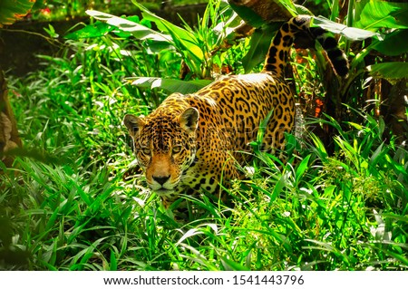 An adult jaguar stalking in the grass #1541443796