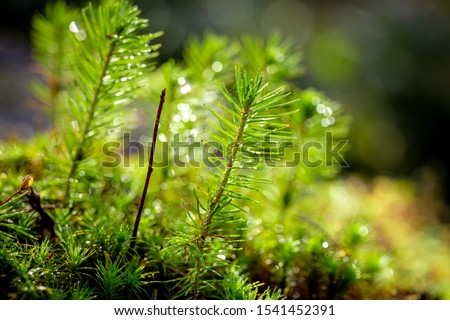 A young sapling of spruce grows in the forest ground with green moss. Sapling spruce planted by nature.  Small coniferous trees. Green sprouts of spruce trees. #1541452391