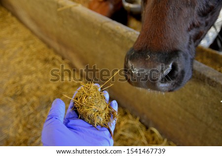 Cow´s cud on hand. It is partly digested food returned from the first stomach of ruminants to the mouth for furter chewing Royalty-Free Stock Photo #1541467739
