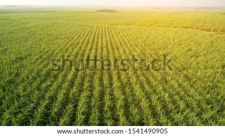 Sugar Cane farm. Sugar cane fields view from the sky. Drone photo of cane sugar. Sugarcane field in blue sky and white cloud. Aerial view or top view of Sugarcane or agriculture. #1541490905