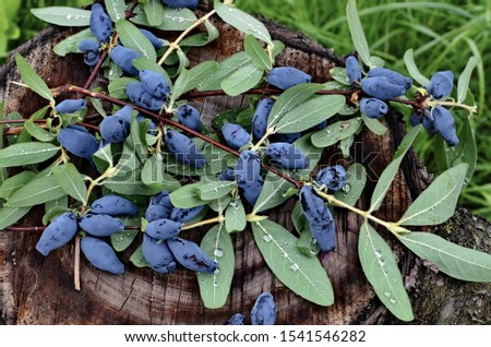 Berries on the bush during harvest. Blue Honeysuckle (Lonícera caeruléa) - deciduous shrub with edible fruits in a dark blue color. #1541546282