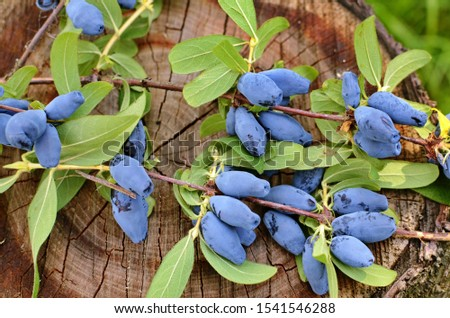 Berries on the bush during harvest. Blue Honeysuckle (Lonícera caeruléa) - deciduous shrub with edible fruits in a dark blue color. #1541546288